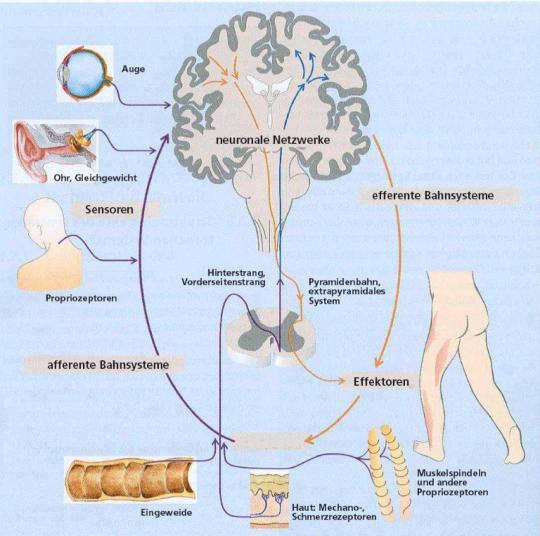 Grafik: Struktur eines Gehirns und Beteiligung Organe bei einem Sensomotorischen Trianing.