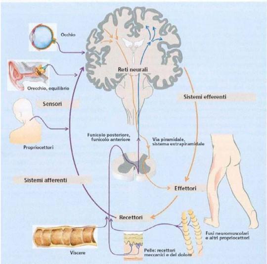 Tabella: le strutture anatomiche del sistema sensomotorio e i rispettivi legami