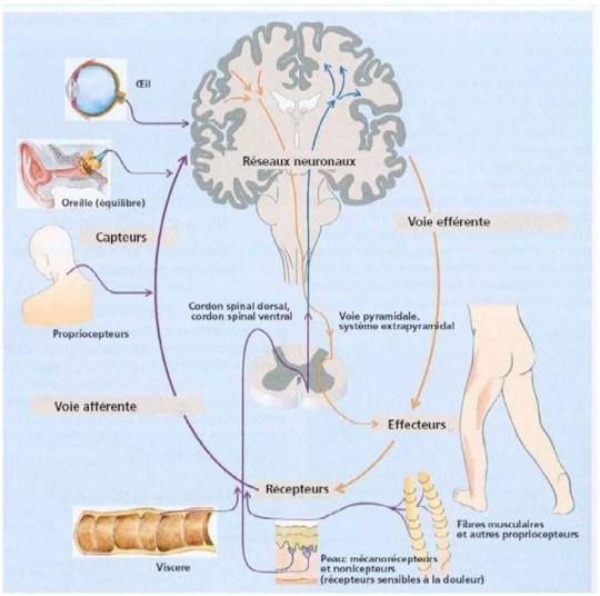 Figure: Structures anatomiques du système sensori-moteur